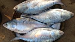 Cá cháy không phải là nướng cháy mà là loài cá quý hiếm, danh bất hư truyền ở sông Hậu