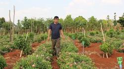 Đắk Lắk: 8X quyết chặt cà phê, bỏ chanh dây trồng vườn sâm tốt bời bời, củ rất to