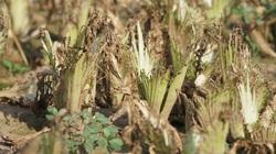 Người trồng rau Mê Linh khóc ròng vì những ruộng rau bạc trắng bởi sâu bệnh