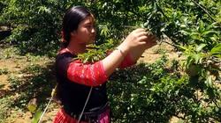 Mận rớt giá, chính quyền 'xắn tay' cùng dân bán nông sản