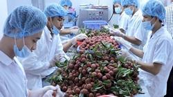 Vải thiều Việt không thể xuất khẩu sang Nhật trong năm 2020 do Covid – 19