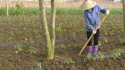 Rau mầu hữu cơ, hướng đi bền vững cho nông dân Mộc Châu