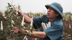 Gian nan khôi phục 100 hecta đất trồng hoa tại Hạ Lôi