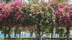 Sắc hồng rực rỡ của hoa giấy ở phố biển Nha Trang