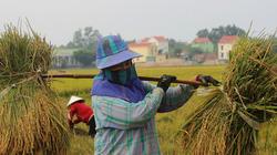 Quảng Bình: Nông dân vật vã gặt lúa dưới cái nắng  40 độ C