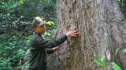 Ly kỳ tận thấy rừng giáng hương cổ thụ hàng trăm năm tuổi cực quý hiếm ở Gia Lai