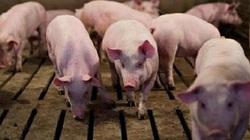 Giá heo hơi ngày 9/5: Mặc kêu gọi, giá lợn chạm mốc 96.000 đồng/kg