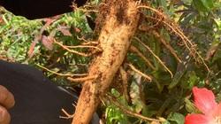 """Đắk Lắk: Bất ngờ vườn """"mọc"""" lên toàn sâm củ to bự sau khi 8X quyết chặt cà phê, bỏ chanh dây"""