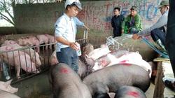 """Tái đàn thời dịch tả lợn châu Phi: """"Cuộc chơi"""" không dành cho người liều"""