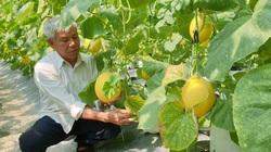 Thanh Hóa: U70 trồng dưa vàng công nghệ cao, ngay vụ đầu đã bỏ túi gần 50 triệu
