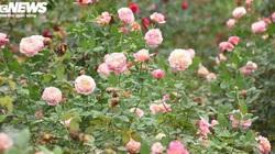 """Lạc lối giữa vườn hoa hồng """"khổng lồ"""" hơn 10.000 gốc, toàn loại quý hiếm của nông dân đất Cảng"""