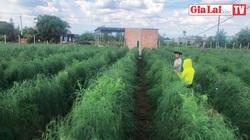 """Gia Lai: Trồng cây rau """"lạ"""", một nông dân trở nên giàu có, thu nhập 150 triệu đồng/tháng"""