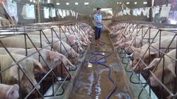 Giá heo hơi hôm nay 11/6: Lợn sống nhập từ Thái Lan chưa về, giá heo hơi đã rơi vài giá