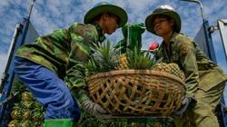 Dứa được mùa, được giá, nông dân xứ Thanh lãi đậm