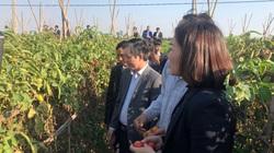Hải Dương: Vào tổ hợp tác trồng cà chua, nông dân thu lợi cao hơn