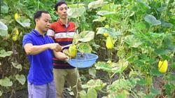 Yên Bái: Thạc sỹ trồng dưa lê mới lạ, bán đắt hàng, ai ăn cũng gật gù khen ngon