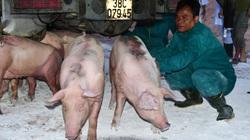 Nhập khẩu lợn sống từ Thái Lan phải đáp ứng điều kiện gì?