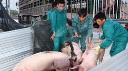 500 con lợn Thái đã về cửa khẩu Lao Bảo, giá thịt lợn sẽ hạ nhiệt?