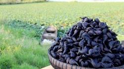 Trồng loại củ ăn chơi lãi gấp 5 lần cấy lúa