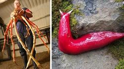 """10 con vật kỳ dị nhưng có thật: Ốc sên màu hồng, cua chân dài cả mét như """"quái vật"""""""