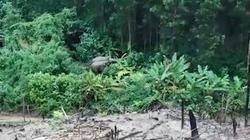 Clip: Đàn voi rừng kéo về gần nhà dân kiếm ăn