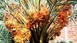 Đồng Tháp: Nông dân trồng cây lạ hoắc, bán 500 ngàn/ký trái, 1 cây giống to bán tới 10 triệu