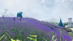 Cánh đồng hoa bung nở, phủ tím sườn đồi ở Sa Pa