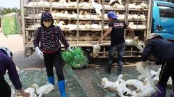 Giá gia cầm hôm nay 16/6: Thương lái tranh nhau mua vịt, dân nuôi không kịp bán