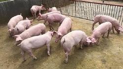 Giá heo hơi ngày 16/6: Dịch tả bùng phát, CP tăng giá bán thịt heo