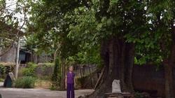 Quảng Bình: Làng kỳ lạ có cả trăm cây thị cổ, hái trái xanh nấu với nhái bà mà ra đặc sản