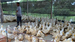 Giá gia cầm hôm nay 18/6: Giá gà trắng tăng 10.000 đồng/kg, người chăn nuôi Đồng Nai thoát lỗ