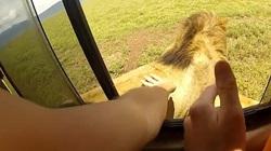 Thò tay ra cửa sổ xe vuốt đầu sư tử và chụp hình tự sướng, du khách suýt mất mạng