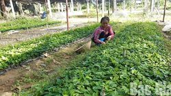 Bắc Giang: Trồng cát sâm, sâm cau và la liệt cây dược liệu trên đất cằn, thu tiền tỷ