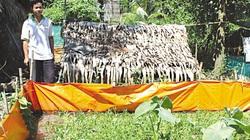 Giá lươn thịt bán lẻ tới 260 ngàn đồng/ký, người nuôi lươn miền Tây thắng lớn