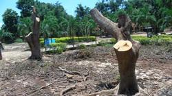 Đắk Lắk: Nhiều cây phượng bị cưa thân, đứng trơ trụi như cây đại cảnh