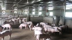 """Lâm Đồng: """"Gã điên"""" nuôi heo giữa """"bão"""" dịch tả lợn châu Phi, sau 4 tháng lãi hơn 1 tỷ"""