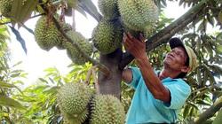 Thực hư nông dân Đồng Nai điêu đứng vì giá sầu riêng giảm?
