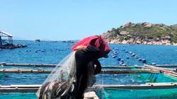 Khánh Hòa: Cá bớp to bự liên tục chết từng đàn, nhiều hộ dân thiệt hại tiền tỷ