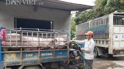 Giá heo hơi hôm nay 2/6: Bán 50 tấn lợn hơi giá 97.000 đồng/kg, chủ trại phố núi bỏ túi 4,8 tỷ