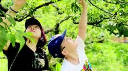 Thung lũng mận Nà Ka chín rộ, khách đổ xô tới trèo cây hái, chủ vườn chỉ cần đếm người thu tiền
