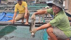 Quảng Bình: Làng nghèo rớt mồng tơi bỗng đổi đời nhờ nuôi toàn cá đặc sản to bự
