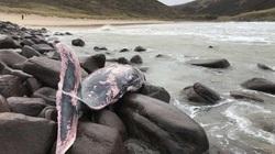Cá voi quý hiếm mắc cạn ở Anh lọt top ảnh động vật ấn tượng tuần qua