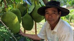 Gia Lai: Trồng mít Thái mới hơn 1 năm mà cây đã đeo đầy trái, ai ngắm cũng thích thú, trầm trồ