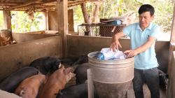 Giá thịt lợn đắt, 1 nông dân Sơn La phát tài nhờ nuôi lợn giống đặc sản