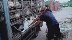 Giá gia cầm hôm nay 22/6: Giá vịt bơ tăng cao, gà thịt công nghiệp bán chậm