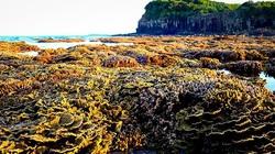 Quảng Ngãi: Khẩn cấp bảo vệ rạn san hô khổng lồ khi hàng ngàn người kéo đến