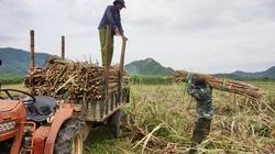 Đà Nẵng: Cây mía Hòa Bắc bế tắc đầu ra, cả đồng mới có 1 ruộng bán được