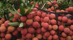 Vải thiều ở Bắc Giang lên 50.000 đồng/kg