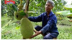 Đổ xô trồng mít Thái, 1 cây để 2 trái bán được gần 1 triệu, giá 20 ngàn/ký vẫn có lời?!