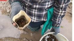 Hải Dương: Đi vòng 1 mẫu ruộng bắt được 10kg cáy, bán 90.000 đồng/kg